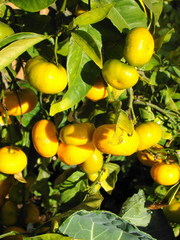 Много разных - плодовые и красиво цветущие для дома и офиса