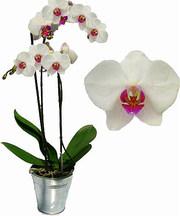 Орхидеи Фаленопсис,  Цимбидиум,  Ванда с доставкой на дом