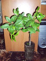 Цитрусовые растения: Апельсин,  мандарин,  Грейпфрут,  Шеддок,  Лимон