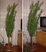 Комнатное растение Молочайник