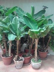 Продам растение банан японский,  пальма