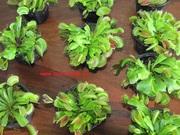 Насекомоядные растения Венерина-мухоловка Дионеа
