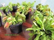 Комнатное растение хищник Венерина-мухоловка
