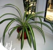 полосатый хлорофитум