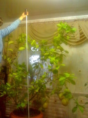 Комнатные растения Лимон плодоносящий,  взрослый либо сажанцы с цветами