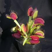 Растения-хищники,  плотоядные растения,  дионея,  росянка,  насекомоядное