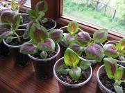 продам излишки комнатных растений Киев