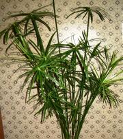 продам пальму Циперус 110 см