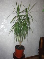 продам недорого комнатные растения!!