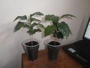 кофейное дерево Арабика почти даром