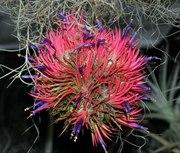 Продам Tillandsia ionantha (Тилландсия фиалкоцветковая)