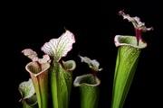 Саррацения растение хищник,  купить