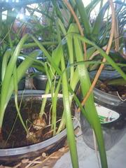 Индийский лук уникальное растение для лечения воспалительных пооцессов