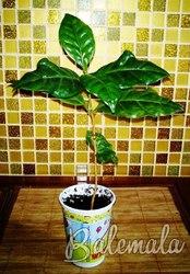 Продажа саженцев кофейного дерева,  сорт Арабика