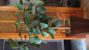 продам комнатное растение фикус