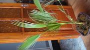продам комнатное растение Королевская Пальма