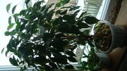 продам комнатное растение фикус рабуста