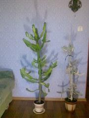 Продам катусы древовидные,  зеленый и снежный
