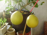 Лимон комнатный саженцы