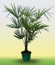 Продам пальмы веерные Трахикарпус форчуна
