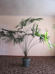 Продам Веерную пальму в Симферополе высота 2, 3м