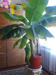 Продам Банан (декоративный цветок)