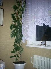 Продам свои комнатные растения